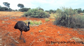 Emu in the Outback