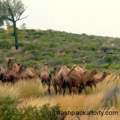 feral camels in the outback australia