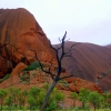 uluru burnt tree