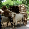 inwa-ox-cart-transport