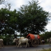 ox-cart-convoy-sagaing