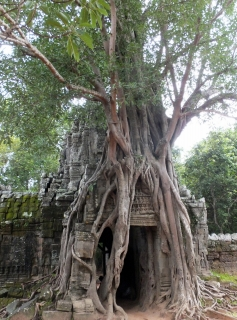 ta-phrom-gate-with-tree-root