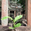 lonely-sapling-angkor-temple