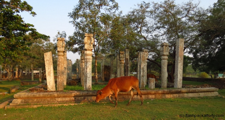 cow-and-ruins-anuradhapura-old-town