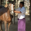 bagan-horse-cart-preparation