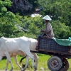 battambang-cow-trailer