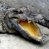 crocodile-mouth-open-battamabang