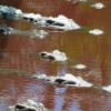 crocodiles-eyes-battambang
