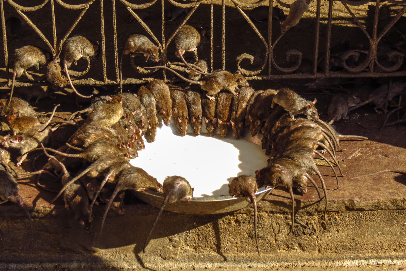 Bikaner India  city pictures gallery : Bikaner India Rat Temple Bikaner Rat Temple Feedling