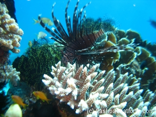 lion-fish-bohol-diving