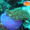 anenome-bohol-diving