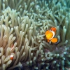 clown-fish-bohol-diving