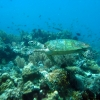 giant-turtle-bohol-diving