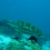 turtle-surfacing-bohol