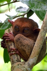 tarsier-monkey-bohol-eyes-open