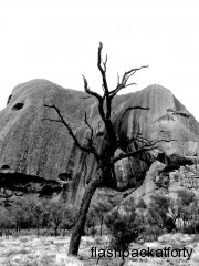 uluru burnt tree BW