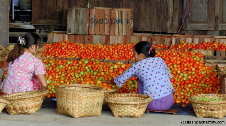 tomato-sorting-inle-lake