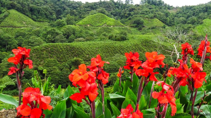 cannas-and-tea-plantation-cameron-highlands