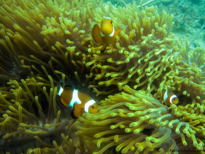 clown-fish-perhentian