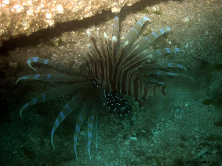 lion-fish-perhentian