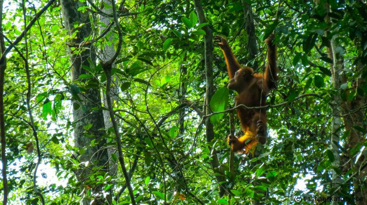 swinging-ornag-utan-semenggoh-borneo