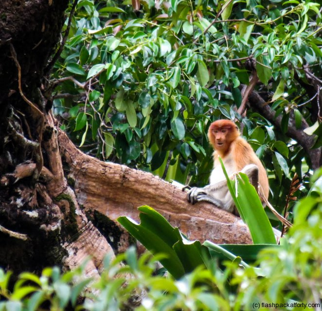 bako-national-park-proboscis-monkey