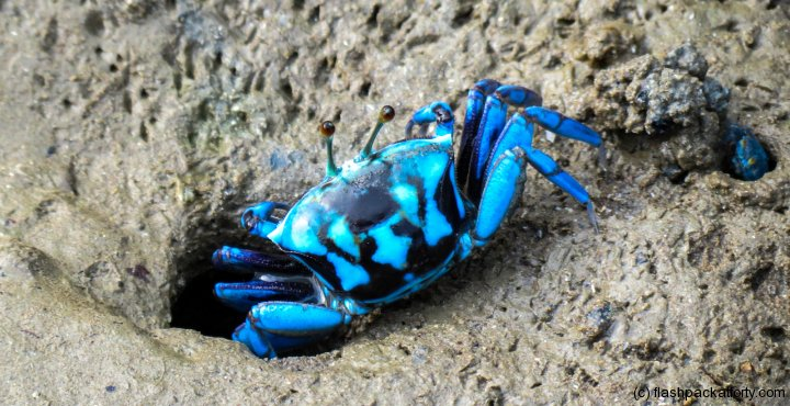 blue-crab-bako-national-park-beach
