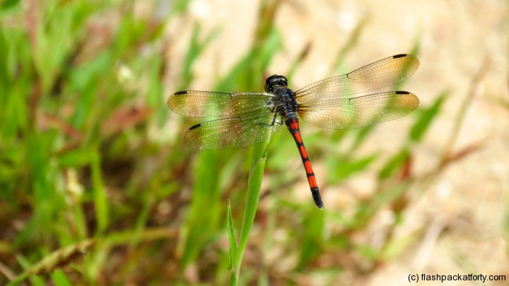 dragonfly-macro-bako-national-park