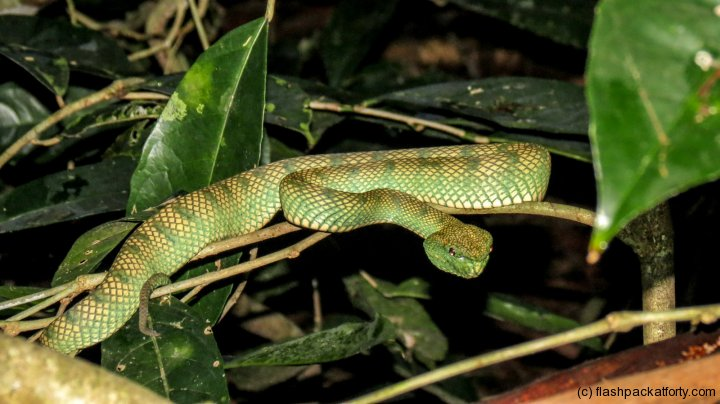 green-viper-bako-national-park-night-trek