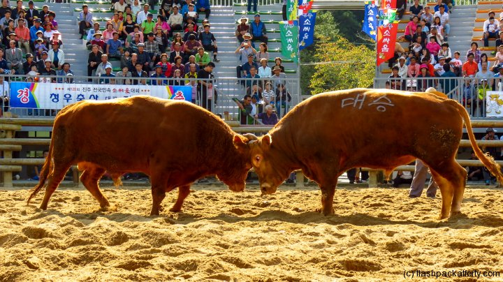 jinju-bulllring-bulls-stand-off