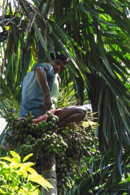 palm-tree-harvesting-wayanad-india