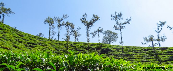tea-leaves-wayanad