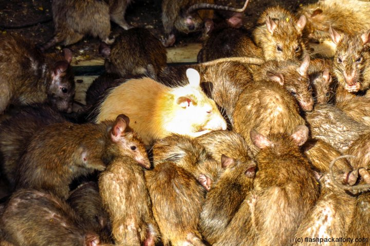 bikaner-lucky-white-rat-at-temple