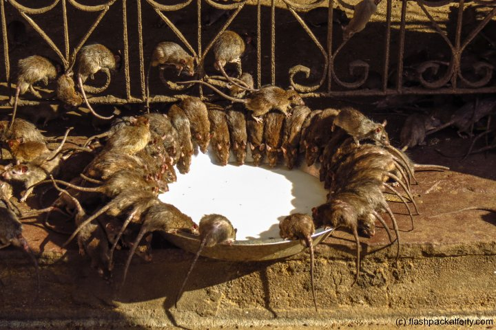 bikaner-rat-temple-feedling-time-india