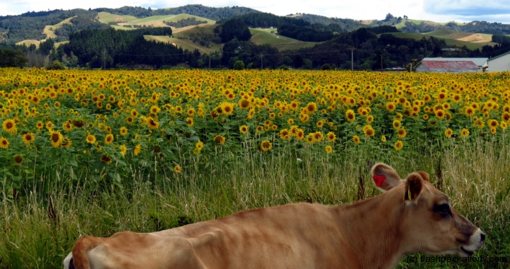 Cow Sunflower Field Miranda
