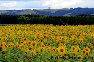 Sunflower Field Miranda
