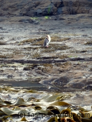 penguin-and-seaweed-curio-bay