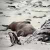 sea-lion-lounging-waipapa-point