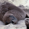 sleeping-sea-lion-waipapa-point