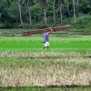 donsol-rice-field-worker