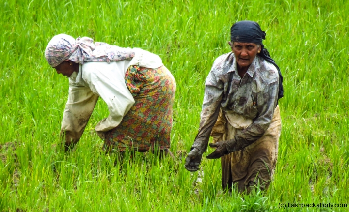 paddy-rice-workers-ella-sri-lanka