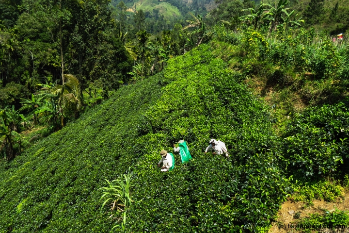 tea-workers-and-tea-field-ella