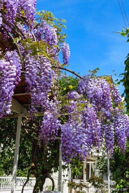 wisteria-turkey