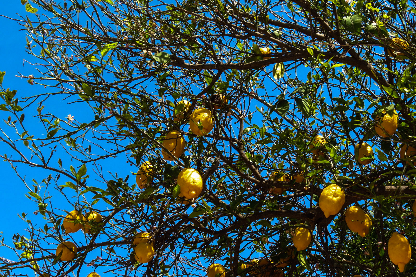 lemon-tree-turkey