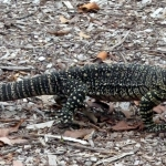 Fraser Island Lizard