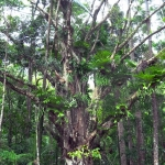Fraser Island Rainforest tree