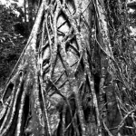 Fraser Island  vine tree