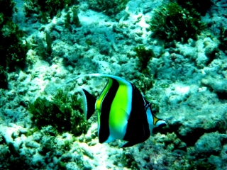 angel-fish-gili-air