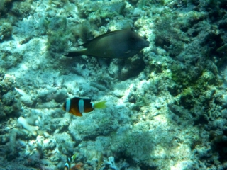 clown-fish-like-gili-air