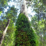 tall-rainforest-tree